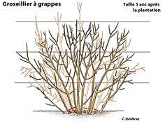 Palissage des framboisiers les m thodes fruit et articles - Quand tailler la lavande ...