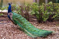 Peacock is a bird of South Asia which gobble insects, plants and small animals. The male again takes precedence over the female as it has a blue body, a crown and striking demonstration of wire like feathers. The feathers have multihued eyespot pattern on them. It is a national bird of India but is also eminent in Greek mythology.