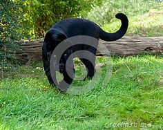 Angry Black Jaguar Stalking Forward - Download From Over 24 Million High Quality Stock Photos, Images, Vectors. Sign up for FREE today. Image: 27519830