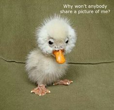 It''s so ugly it's cute. Such an Adorable Little Ugly but Cute Little Baby Duckling on the Farm - Aww! Cute Funny Animals, Cute Baby Animals, Funny Cute, Animals And Pets, Super Funny, Farm Animals, Fluffy Animals, Happy Animals, Jungle Animals