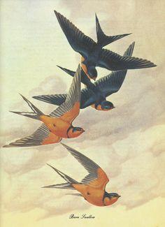 Barn Swallow - Athos Menaboni - Birds