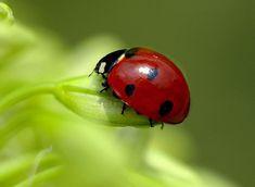 Ladybird (psyllobora vigintiduopunctata) COCCINELLIDAE / LADYBUG : More Pins Like This At FOSTERGINGER @ Pinterest