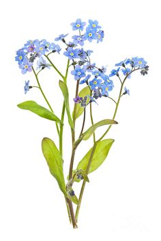 Forget-me-not Flowers On White Photograph - Forget-me-not Flowers On White Fine Art Print