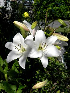Growing Lily in containers, How to grow Lily plant, Lillium care, Problem with Lilies plant. Typically its plants and bulbs are planted in spring. Exotic Flowers, Tropical Flowers, Beautiful Flowers, Cactus Flower, Purple Flowers, Planting Bulbs, Planting Flowers, Flowers Garden, Lily Plant Types