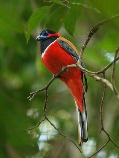 Birds in Thailand: Red naped Trogon