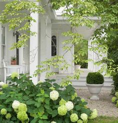 Charming white porch, white hydrangeas, boxwood, gravel Love the combo! Outdoor Rooms, Outdoor Gardens, Outdoor Living, Hortensia Hydrangea, White Hydrangeas, Hydrangea Tree, Limelight Hydrangea, Green Hydrangea, Porches