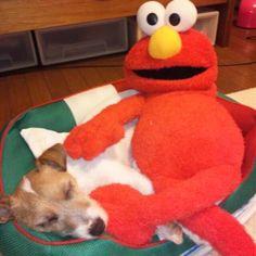 #dog #jrt #JackRussellTerrier #JackRussell cute