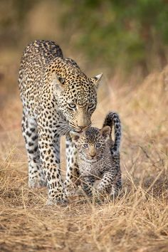 Cute Baby Animals, Animals And Pets, Funny Animals, Beautiful Cats, Animals Beautiful, Big Cats, Cute Cats, Mon Zoo, Photo Animaliere