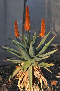Orange form of Aloe ferox, from South Africa. The Ruth Bancroft Garden / Walnut Creek, CA