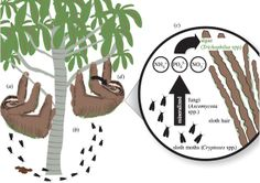 The sloth-moth cycle. Credit: Pauli et al, Royal Society. Moth Species, Three Toed Sloth, Bio Art, Royal Society, Science Biology, Ap Biology, Smash Book, Fungi, Animales