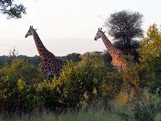 Picture Of A Giraffe In A South Africa Safari