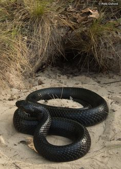 The eastern indigo snake (Drymarchon couperi) is a species of large nonvenomous colubrid snake native to the Eastern United States. It is of note as being the longest native snake species in the U. Les Reptiles, Cute Reptiles, Reptiles And Amphibians, Pretty Snakes, Beautiful Snakes, Animals Beautiful, Black Animals, Cute Animals, Mexican Black Kingsnake