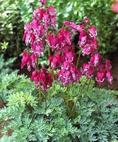 Dicentra 'Red Fountain'