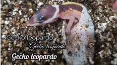 GECKO LEOPARDOEl gecko leopardo (Eublepharis macularius) son reptiles de zonas semideserticas desde iran hasta pakistan, esta especie se usa mucho como mascota por su facil mantenimiento y cria db cautividad.Esta mascota tiende a medir de 18 a 24cm en tamaño adulto siendo su cola un tercio de su tamaño. Estas mascotas poseen parpados, con extremidades …