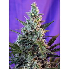 Semillas de marihuana Sweet Skunk autoflorecientes de Sweet Seeds al mejor…