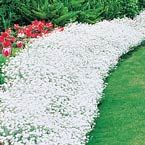"""Snow in Summer Great as a low border or ground cover. This wonderful plant, with its attractive, grayish, downy foliage and abundance of star-shaped white blooms, looks like a snowdrift. Spreads quickly and even cascades over walls. Space 8-10"""" apart.  Product Information: Light: Full sun Height: 3-6"""" Bloom Time: Late spring Size: Potted Zones: 3 to 7"""