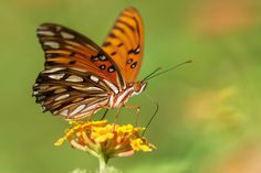 Gulf Fritillary Butterfly - Gordon Magee - Gulf Fritillary Butterfly -  http://ift.tt/2dqDcpn IFtemppicpinned in Building blocksdownld in ios #September 25 2016 at 02:24PM#via IF
