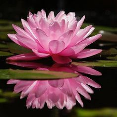 boy picking pink lotus flowers at DuckDuckGo Flowers Gif, Water Flowers, Exotic Flowers, Pink Flowers, Beautiful Flowers, Flowers Garden, Gifs, Lily Pond, Bloom