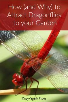 Slugs in garden - How (and Why) to Attract Dragonflies – Slugs in garden Slugs In Garden, Garden Pests, Fruit Garden, Garden Insects, Herbs Garden, Garden Tools, Gardening For Beginners, Gardening Tips, Gardening Services