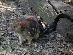 Tiger Quoll (Spot-tailed Quoll) - Dasyurus maculatus. The Tiger Quoll (Spot-tailed Quoll) is the only Australian mammal with a spotted tail.