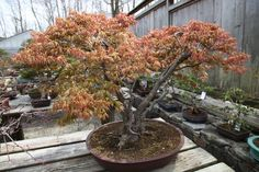 Japanese red maple.  Shanti Bithi offers both group and private Bonsai classes, usually led by Bonsai specialist, Saeko Oshiro.  You can find out about upcoming classes here: http://www.shantibithi.com/bonsai.htm