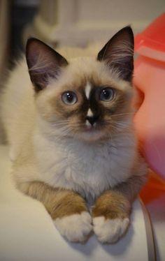 Cats - Snowshoe kitten.