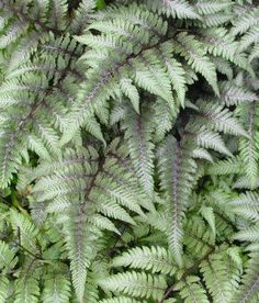 Athyrium niponicum var. pictum (Japanese painted fern) - Fern - Zones 4-9, Height 12-18 in. One of the most colorful ferns around with subtle shades of green, purple and red on a grey-blue background! The color is more intense with some direct sun, preferably morning or late afternoon. Strong-growing and dependable, the lady ferns are great garden plants.