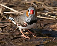 Used to have these as pets, love them! So cute their song is too cute lol  Zebra Finch, Australia