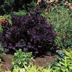 Smoke Bush Royal Purple. Deer resistant. Spring red, summer purple, fall orange. Pref full sun.