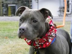 Petango.com Meet Mulligan 90 a 1 year Terrier Pit Bull \/ Mix available for adoption in CLEVELAND OH