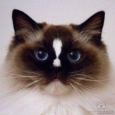 "From @jackthepiratecat: ""Mj'ello!"" #catsofinstagram by cats_of_instagram"
