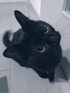 Cute Black-cat KUKU, 24 february 2017 / grape this is such a cute cat! Cute Cats And Kittens, I Love Cats, Crazy Cats, Kittens Cutest, Kittens Meowing, Ragdoll Kittens, Tabby Cats, Bengal Cats, Siamese Cats