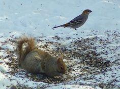 Pine Grosbeak & Grey Squirrel