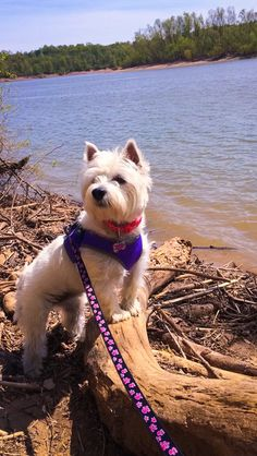 Molly the All Terrain Westie