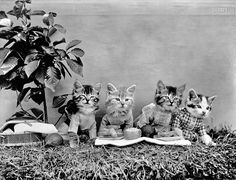 1914. Kittens in costume at picnic lunch.