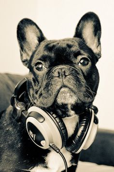 From the daily frenchie blog.. YES, there is a daily blog devoted to pics of…