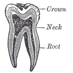 Teeth and Rebirth Tooth Tattoo, I Tattoo, Science Diagrams, Human Embryo, Human Anatomy, Dentistry, Human Body, Teeth, Life Science