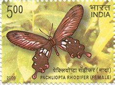 ENDEMIC BUTTERFLIES OF ANDAMAN & NICOBAR ISLANDS' PACHLIOPTA RHODIFER (FEMALE)