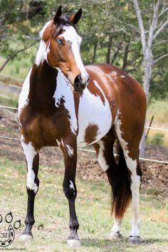 Stunning horse with paint markings and blue eyes.