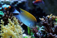 Best Track, Reef Aquarium, Question Of The Day, Angel Fish, Beautiful Fish, Corals, Angels, Jar, Nature