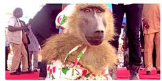 'I dey laugh o' See what APC allegedly did to PDP during  presidential rally in Benin (PHOTOs)  The Special assistant to President Goodluck Jonathan on New Media, Reno Omokri shared this photo of a baboon clothed in a PDP wear and chained to the stage at the APC campaign ground in Benin.