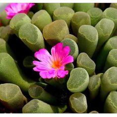 ขายเมล็ด frithia pulchra ซองนึงมี20เมล็ด ซองละ70บาทค่ะ ส่งลงทะเบียน20บาท ems40บาทค่ะ สนใจcfใต้ภาพ แล้วแอดไลน์ได้เลยนะค๊า  #lithop #Lithops #lithopshop #lithopthailand #lithopsthailand #cacti #cactus #cactusclub #cactuslover #cactuspremium #cactusthailand #conophytum #frithia #fenestraria #frithiapulchra #succulent #succulentthailand #succulents #succulentlove #succulentthai #succulentlover #succulentgarden #succulentigclub