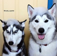 LOL -- the malamute (on right) is having a good time, while the Siberian husky (on left) is plotting revenge.....