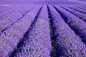 Lavender, awe!
