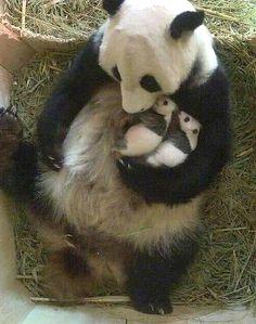 Baby Panda Pictures, Panda Images, Funny Animal Pictures, Animal Pics, Panda Funny, Cute Panda, Cute Little Animals, Cute Funny Animals, Animals Beautiful
