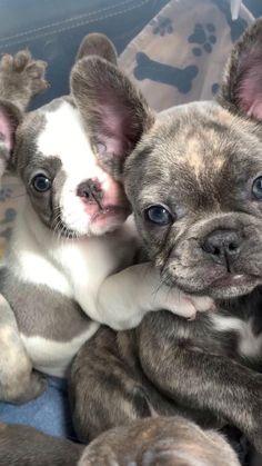 Super Cute Puppies, Baby Animals Super Cute, Cute Baby Dogs, Cute Little Puppies, Cute Dogs And Puppies, Cute Little Animals, Cute Funny Animals, Doggies, Baby Pugs