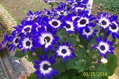 senetti flowers