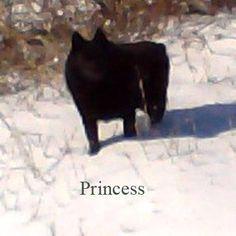 Meet Princess De Bexar, a Petfinder adoptable Schipperke Dog | Dallas, TX | Princess -- last vetted at Rockwall County VetCKC (Continental KC) registered name is Princess De...