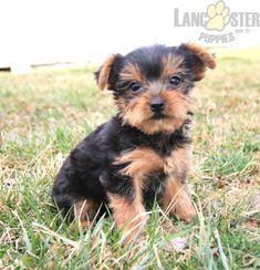 #YorkshireTerrier #Charming #PinterestPuppies #PuppiesOfPinterest #Puppy #Puppies #Pups #Pup #Funloving #Sweet #PuppyLove #Cute #Cuddly #Adorable #ForTheLoveOfADog #MansBestFriend #Animals #Dog #Pet #Pets #ChildrenFriendly #PuppyandChildren #ChildandPuppy #LancasterPuppies www.LancasterPuppies.com Yorkie Puppy For Sale, Puppies For Sale, Puppy Love, Yorkie Puppies, Small Dog Breeds, Small Dogs, Lancaster Puppies, Cute Animals, Animals Dog