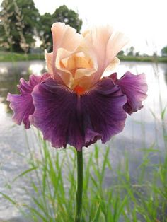 World of Irises: Exceptional Performers in a Lousy Bloom Season